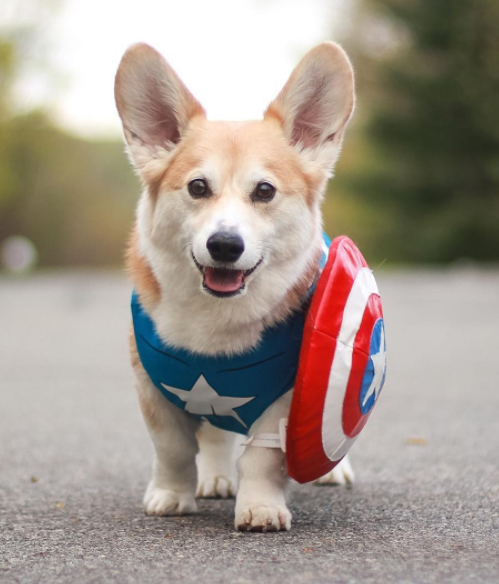 Wally the Corgi