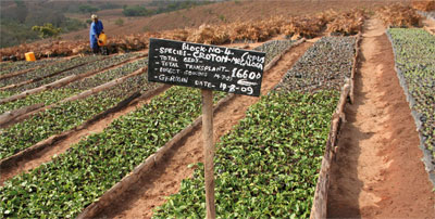 CarbonNeutral Company's Uchindile-Mapanda Reforestation Project, Tanzania: indigenous seedlings being grown