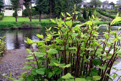 Japanese knotweed is one of the problem plants to be targeted by Northern Ireland's invasive species strategy (photograph by Kenneth Allen, CC by SA 2.0)