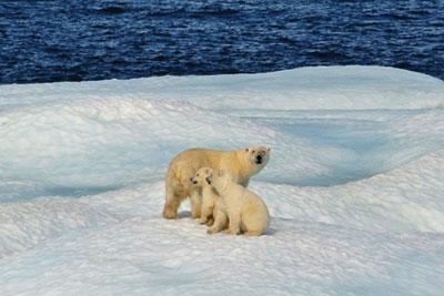Polar bears. Credit: NOAA