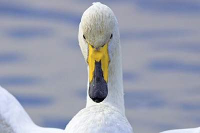 Concerns that Cuadrilla's operations would affect whooper swans led to the firm dropping plans at one of its sites. Credit: RSPB