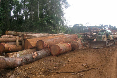 Economically valuable logs piled in Talangaye. Credit: Fon Christopher-Achobang