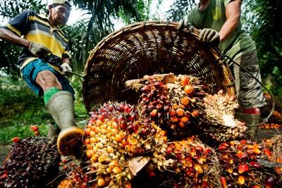 Palm oil. Credit: James Morgan, WWF International