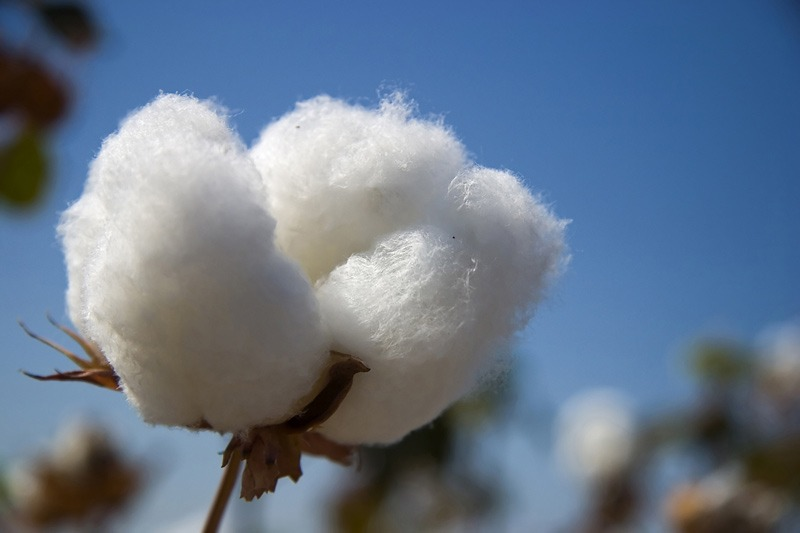 Cotton plant, from dreamstime.com