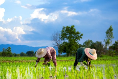 UK rice imports are at particular threat from global water shortages (photograph: Chatrawee Wiratgasem/123RF)