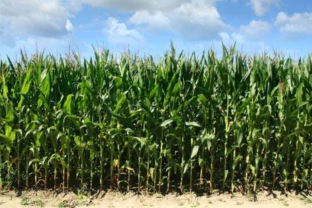 Genetically modified corn (photograpah: anthonycz/123RF)