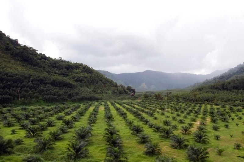 Mars uses 0.2% of the world's palm oil supplies (Photo: Nirut Joramas)