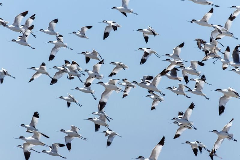 Flock of avocets
