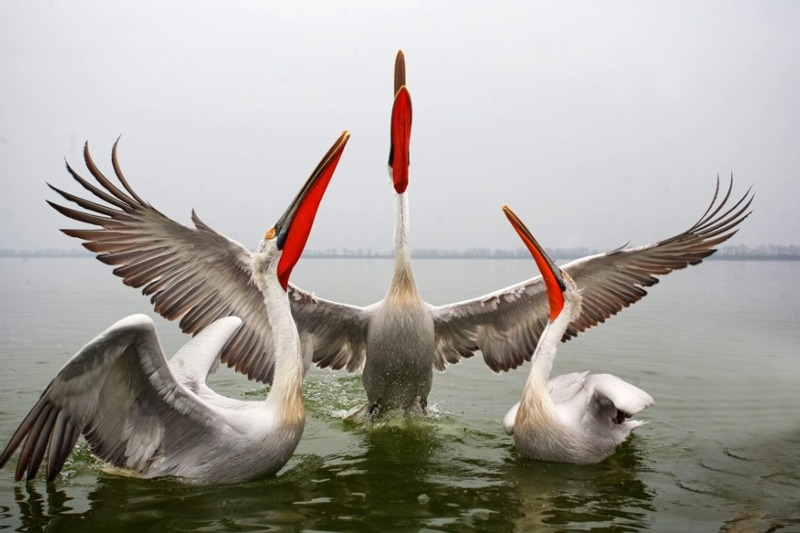 Dalmation pelicans are one of the species on annex I of the Birds Directive (photograph: digitaldicator/123RF)