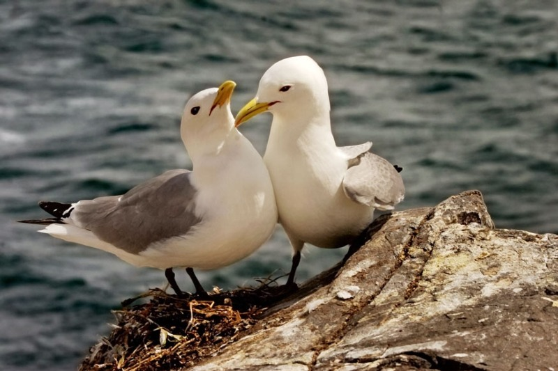 Kittiwake populations are in decline (photograph: Anthony Brindley/123RF)