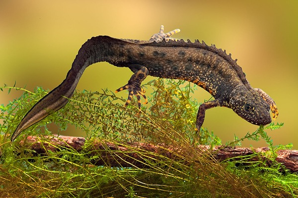 Great crested newts are protected under EU and UK law. Photograph: Dirk Ercken/123RF