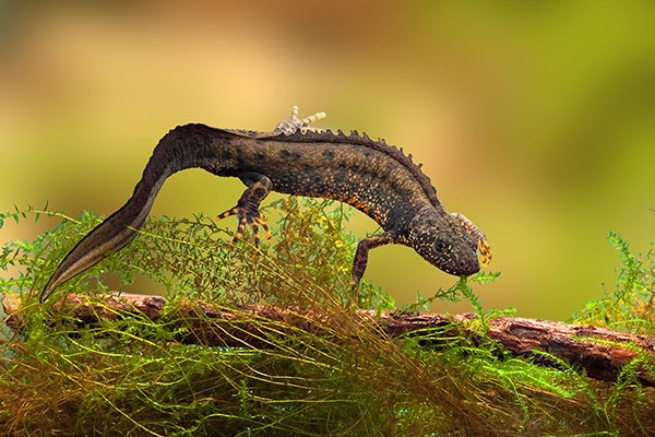The proposed M4 route passes through great crested newt habitats. Photograph: Dirk Ercken/123RF