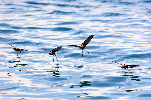 Storm petrels have returned to the Shiant islands. Photograph: John Platt/123RF