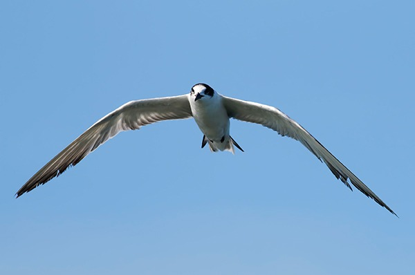 The common tern will be better protected under the proposals. Photograph: Rapeepong Puttakumwong/123RF