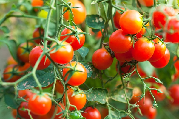 Buprofezin is an insecticide used on lettuce, tomatoes and citrus fruit. Photograph: 123RF