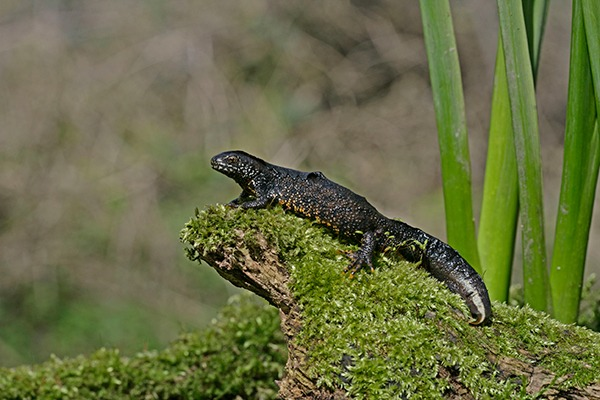 The policies are meant to help species like the great crested newt. Photograph: Michael Lane/123RF