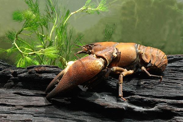Signal crayfish. Photograph: Michael Lane/123RF