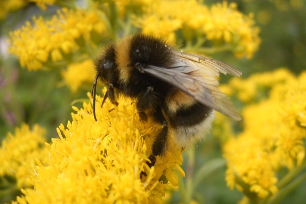 Bee populations are subject to numerous environmental pressures but fungicides were not thought to be among them. Photograph: TeunSpaans/Wikimedia