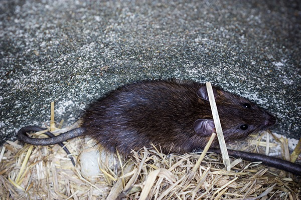 Brown rat. Photograph: Pritsadee Jaipinta/123RF