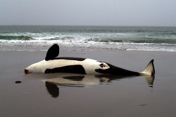 An orca stranded on a North Sea beach