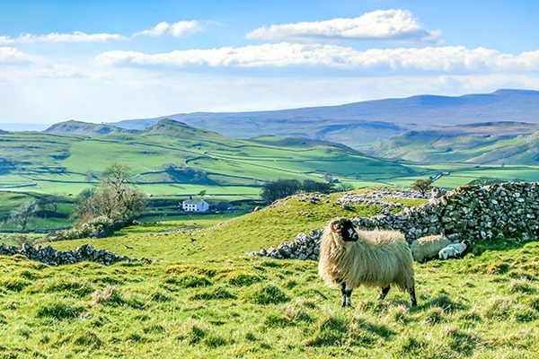 Sheep in field. Photograph: Ken Easter/123RF