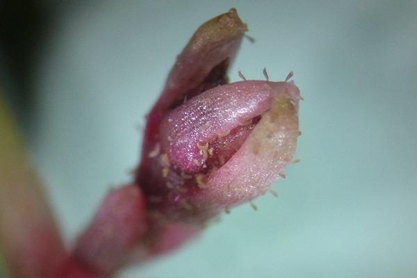 Aculus crassulae eriophyid mites on bud of the Australian swamp stonecrop