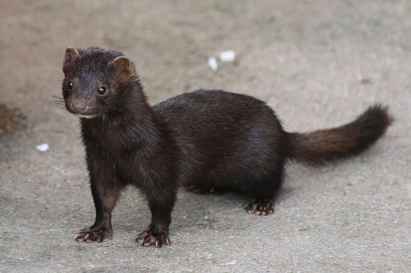 American mink