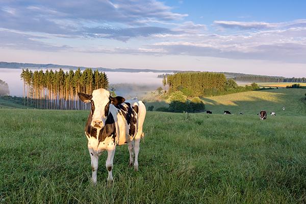 Cow in Belgian field