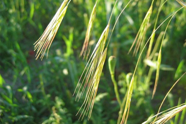 Bromus sterilis (common name: poverty brome)