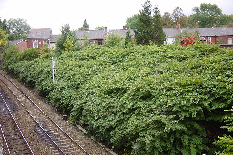 Japanese knotweed growing on a railway line encroaching on nearby homes