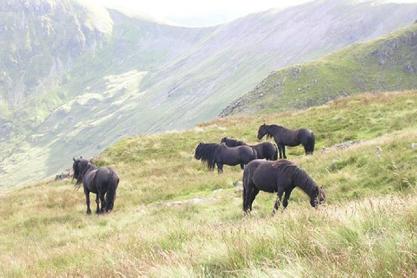 Fell ponies grazing