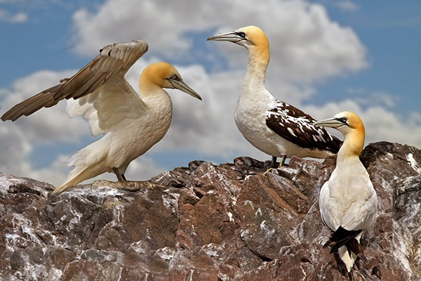 Northern gannet birds