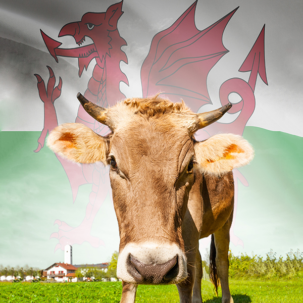 Cow in field with Welsh flag