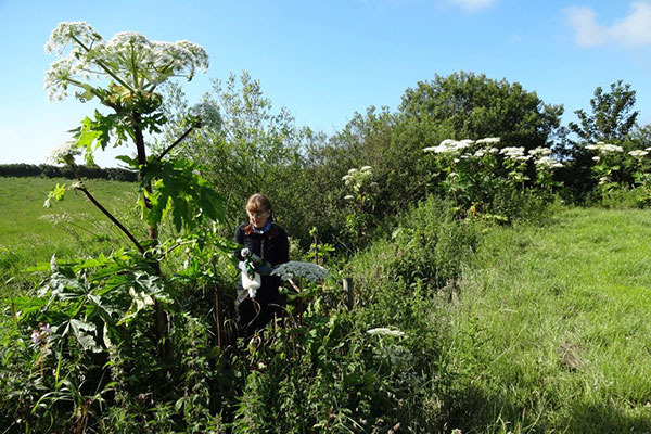 Giant hogweed being removed