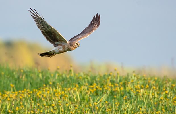 Hen harrier landing in a field