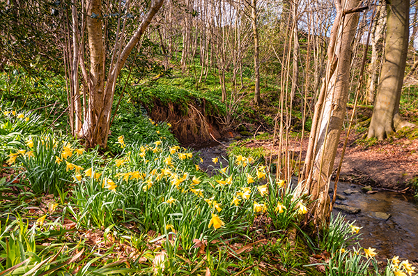Woods with daffodils and a stream