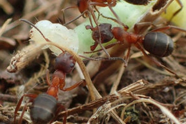 Narrow-headed ants