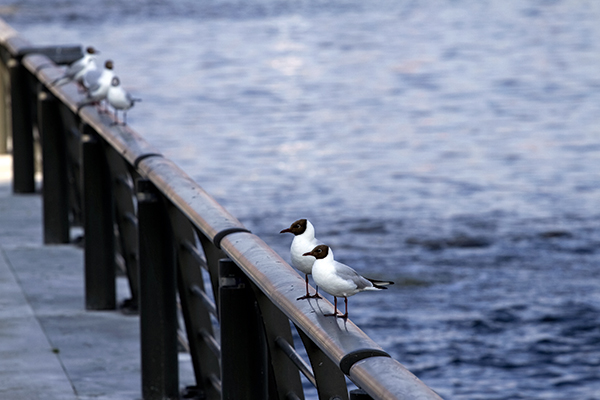 Seagulls on the Manchester ship canal