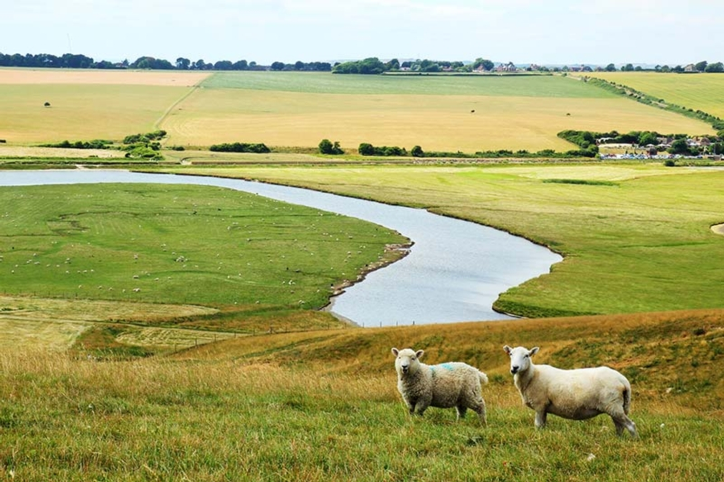 Sheep grazing in field near a river
