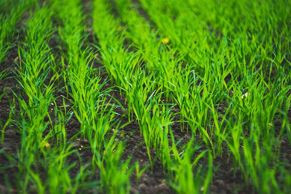 Young barley crop
