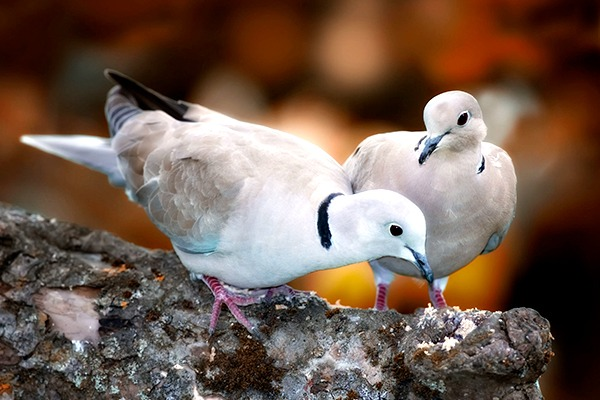 Two turtle doves